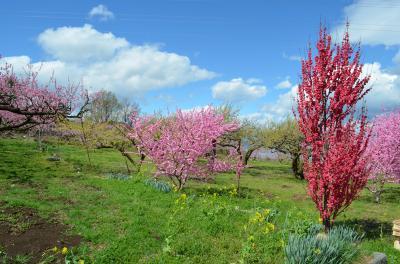 桃の花を見に…