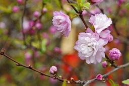 京都お花見2013②
