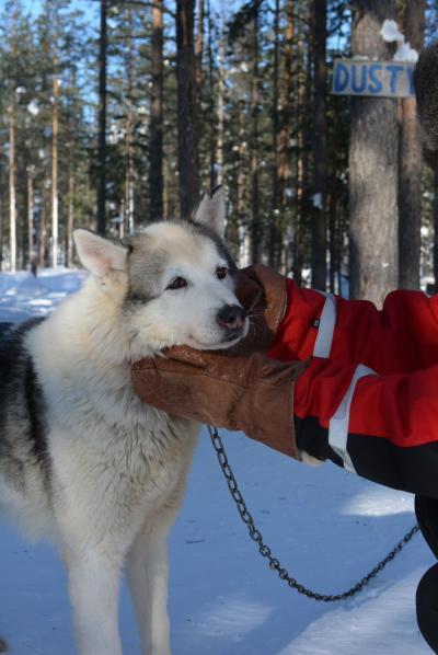 初めてのフィンランド♪ラピンタイカの旅②♪2日目の1-犬ぞり編