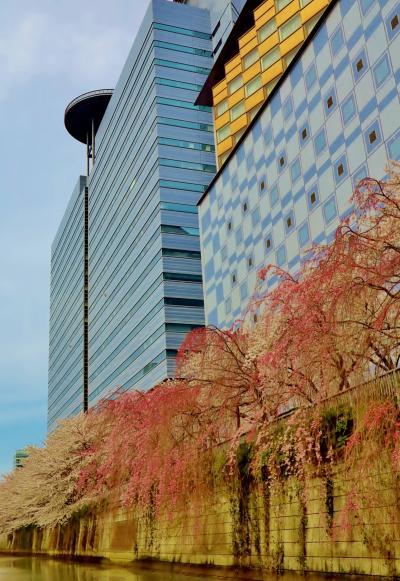 目黒川の桜b お花見クルージング(復路) ☆東京湾レインボーブリッジも見て