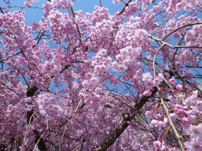 海津大崎 春爛漫の奥琵琶湖☆桜のトンネル♪