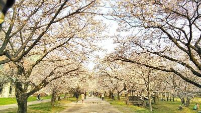 2013 高知桜巡りと日曜市とおまけ