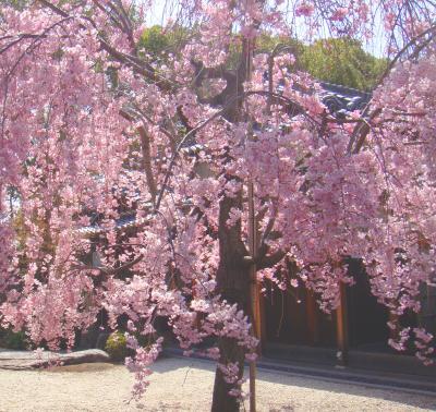 徳川園のしだれ桜