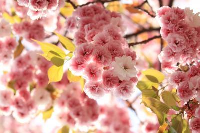 """2013 今年の花は""""天の川"""" 「造幣局桜の通り抜け」"""