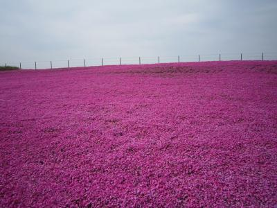 東京ドイツ村に芝桜を見に行こう!!