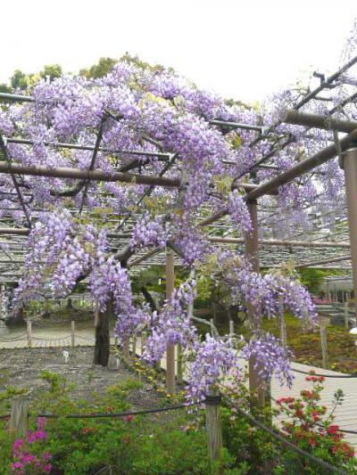 愛知県江南市の曼陀羅寺には満開の藤棚が有りました。