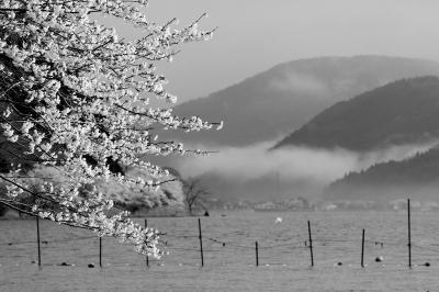 海津大崎 桜 湖北桜紀行 「近畿最後の桜を求めて」