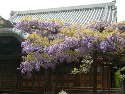 曼陀羅寺の藤の花です。
