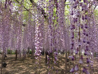 12.05.10足利フラワーパークの藤の花