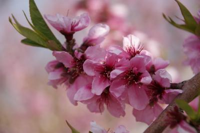 '13桃と桜を見に行こう