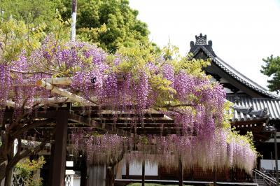 葛井寺の藤祭りへ。道中の野中寺、道明寺にもお参りしました。