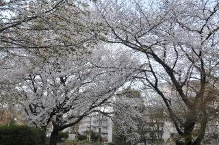 桜の花に思うわが故郷の地を。