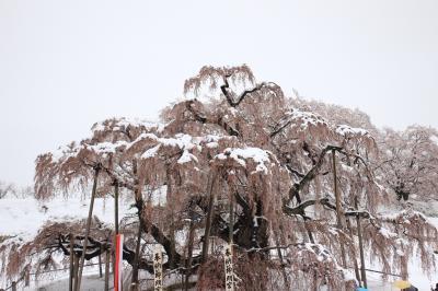 三春の桜と雪