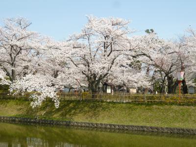 山形県鶴岡市鶴岡公園の桜