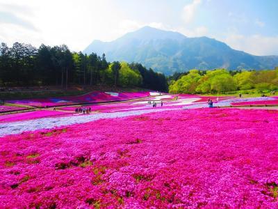<新緑の秩父路・パワーチャージの旅・1> 羊山公園 「満開♪ 9種類の芝桜」