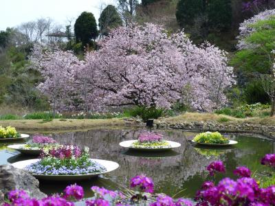 2013年03月 一斉に咲き満開なった高知市内の桜 今年あっという間でした!!「高知県高知市」
