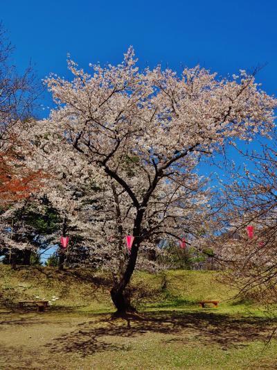 上田城跡公園a 千本桜まつり 満開~散り始め  ☆新幹線で上田、観光バス乗車