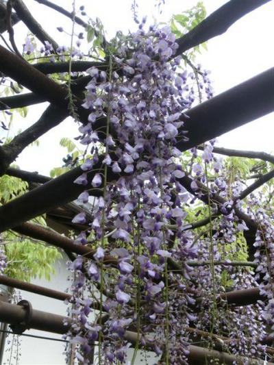 福岡県福智町 定禅寺の藤
