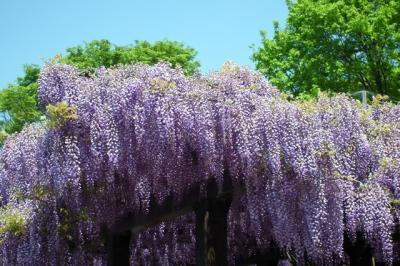 鳥羽浄水場 満開の藤と芝桜!2013年