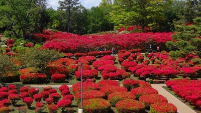 小室山公園のつつじ祭りが始まる前に見てきました。
