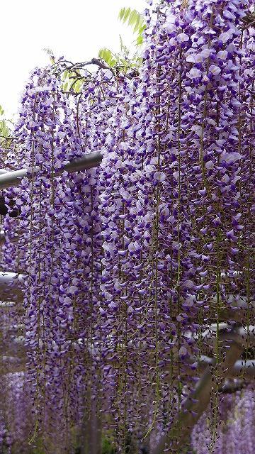 伊東市 法泉寺の藤の花は見頃に近づいていました。
