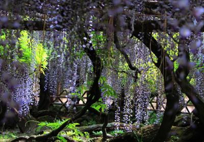 紫の貴婦人を愛でる 【牛島の藤(藤花園)】