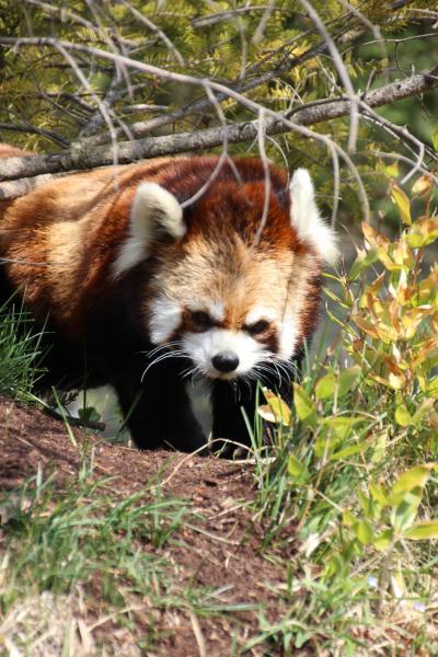 長野新幹線に乗って茶臼山動物園へ4匹の子レッサーパンダ詣(3)茶臼山動物園のアイドル・レッサーパンダたちにさらに8匹も会えた!