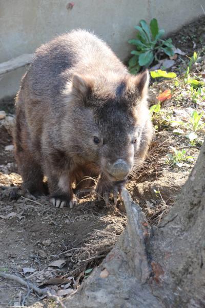 長野新幹線に乗って茶臼山動物園へ4匹の子レッサーパンダ詣(4)ウォンバットが可愛い!~動物さまざま&桜あふるるGWの信州の動物園
