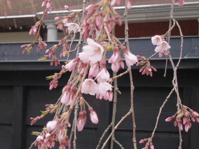 角館の桜、まだ見れず