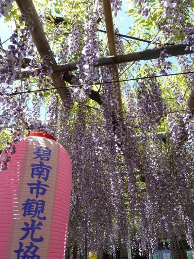 碧南市広藤園 藤まつりは花が満開でした