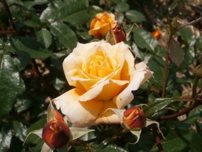 花の季節 宝塚山本と伊丹荒牧バラ公園
