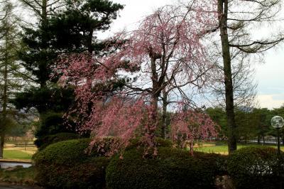 寒い春でも爽やか・桜咲く 軽井沢72東・入山コースでゴルフ ① 4月下旬/2013