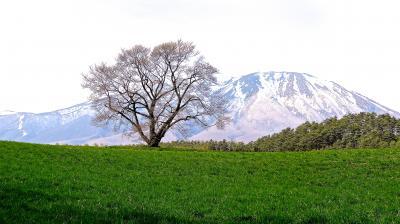 ハンドルを北に!  (春はまだはそこまで、小岩井農場と一本桜と盛岡城跡と石割桜&盛岡冷麺)
