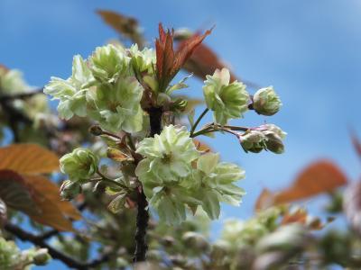 新潟のチューリップ&ピンクの桜&みどりの桜