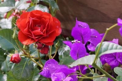 国際バラとガーデニングショー 初見(バラの花編)