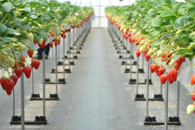 三木で苺、播州で梅