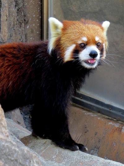 初夏のレッサーパンダ紀行【1】 姫路市立動物園&王子動物園 兵庫3大イケメンパンダの内の2匹に会えました