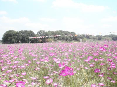 鴻巣 花まつり 風になびく麦なでしこ
