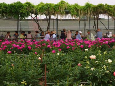 2013 深谷市 花園芍薬園  美の競演ー上