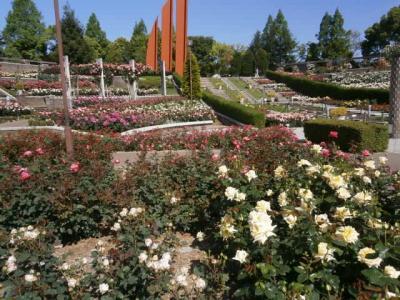 春のバラ満開荒牧バラ公園 見るなら今でしょ!!