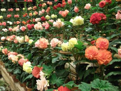 菜花の里、温室の花