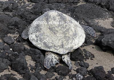 ハワイ島でウミガメさんに会いました。Green Sea Turtle from the big Island of Hawaii.