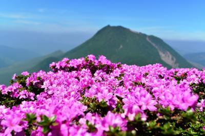 鶴見岳でミヤマキリシマ
