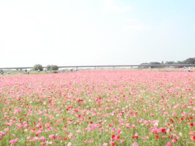 鴻巣 花まつり (3)ポピーハッピースクエア 満開の花畑