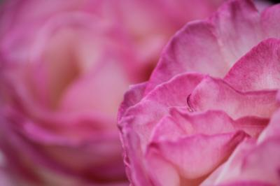 薔薇を求めて(岸和田蜻蛉池公園)