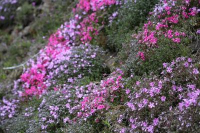 2大芝桜と120万本のチューリップを見る予定が…(来年も行きます!):1日目