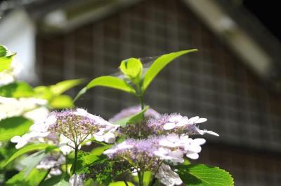 花庄屋・大鐘家で紫陽花を見てきました 2013.06.02