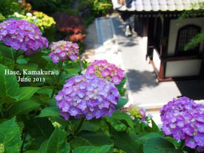 鎌倉散歩♪江ノ電であじさい巡り 明月院~長谷寺~成就院、ついでに鶴岡八幡宮も
