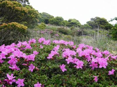 ミヤマキリシマを求めて九州の山旅と歴史の旅・・・③ミヤマキリシマを楽しむ