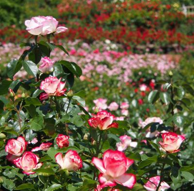 どこまで行っても薔薇・・薔薇・・薔薇・・・!! ☆東沢バラ公園☆